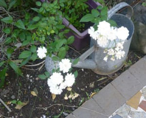 Un arrosoir au milieu des fleurs